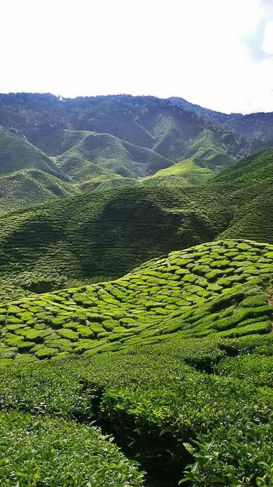 The Cameron Highlands. 2 dagen in de thee- en groententuin van Maleisië.